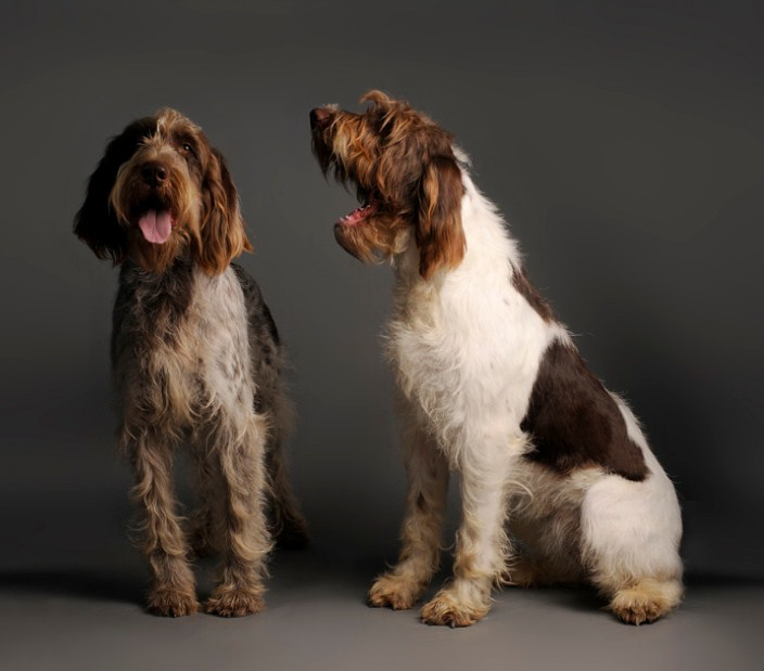 Italian Dog Breeds Spinone