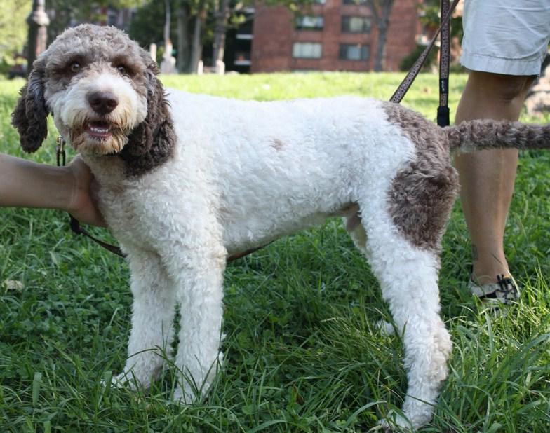 Italian Dog Breeds Truffles
