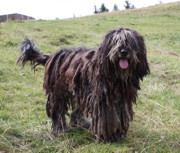 Large Italian Dog Breeds