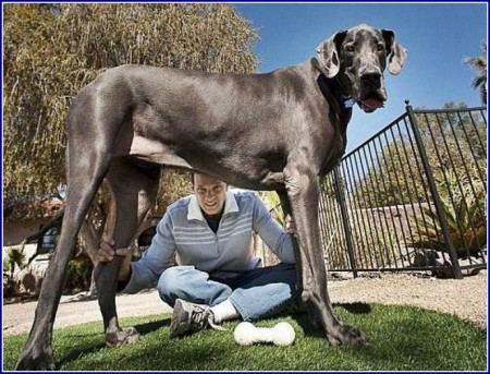 Largest Dogs In The World Breed
