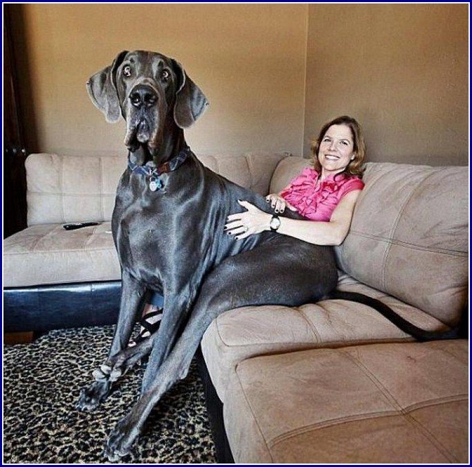 Largest Dogs In The World List