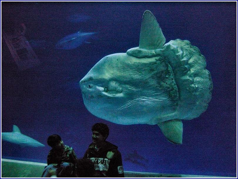 Largest Mola Mola Fish