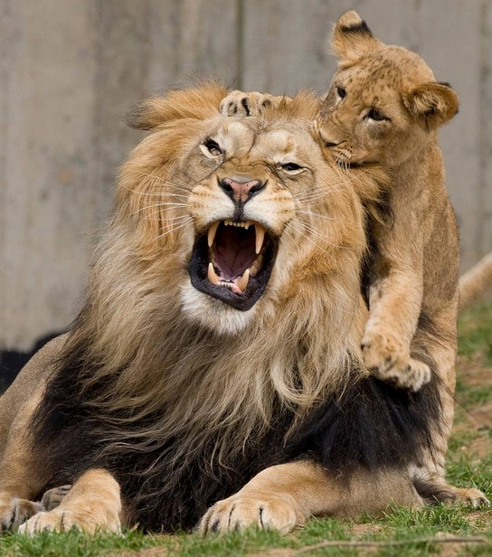 Lion And Cub Images