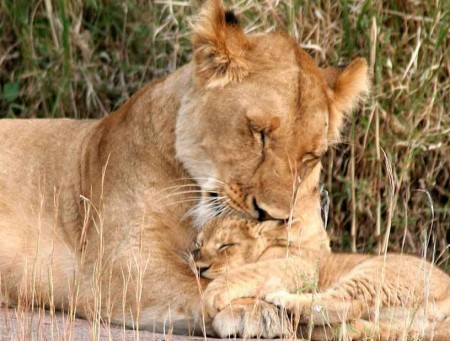 Lion And Cub Pics