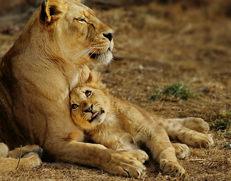 Lion And Cubs Pictures