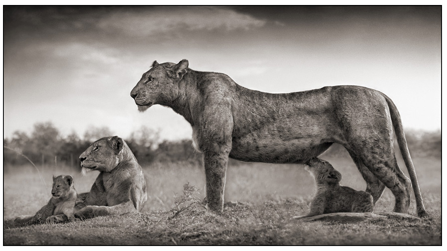 Lion And Lioness Black And White