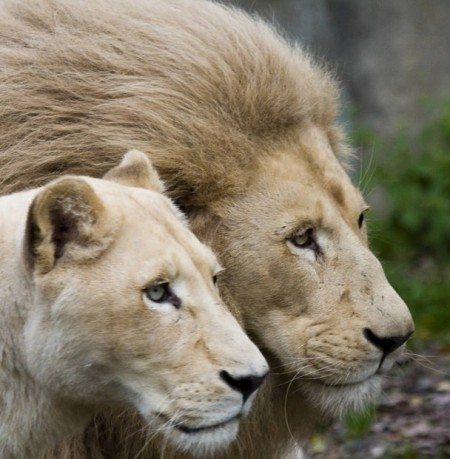 Lion And Lioness Love Black And White