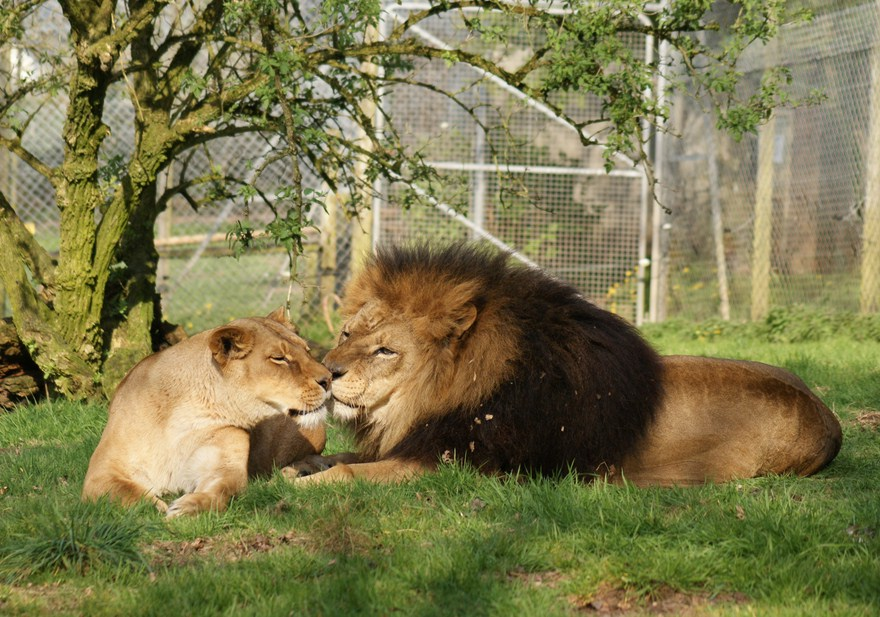 Lion And Lioness Love Tumblr