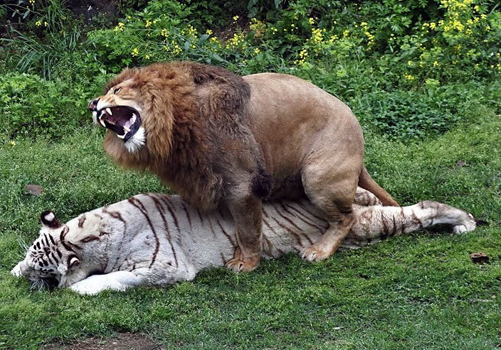 Lion And Tiger Mating