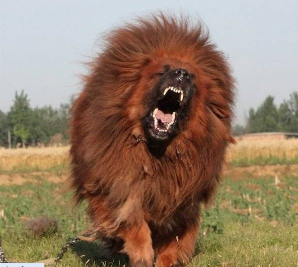 Lion Dog Breeders