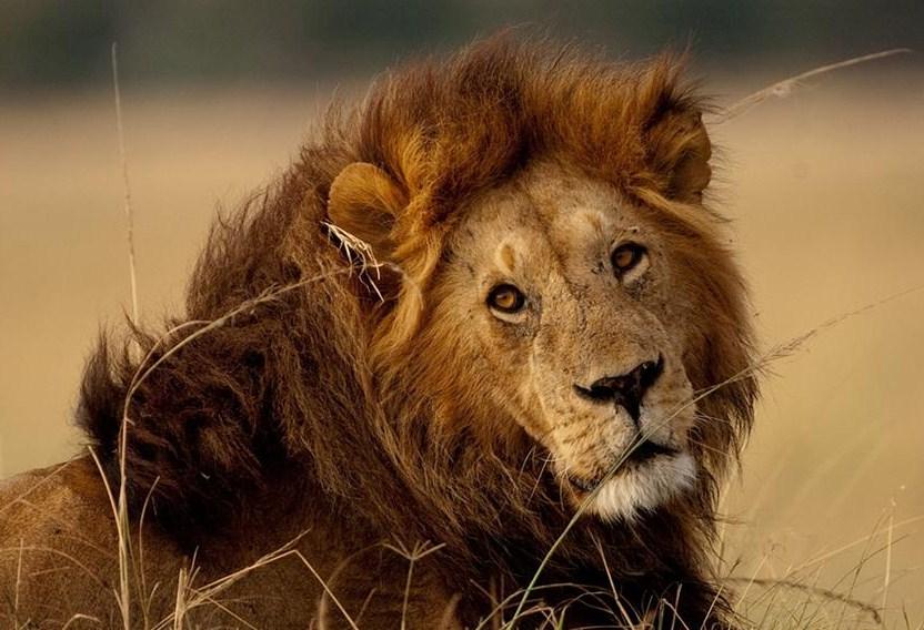 Lion Vs Bear Images