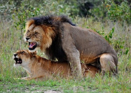 Lions And Tigers Mating