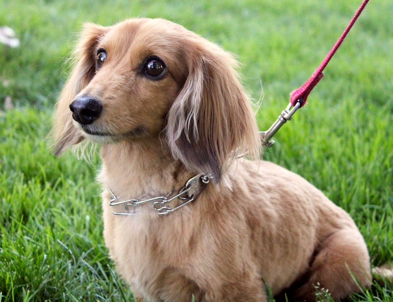 Long Haired Small Dog Breeds List