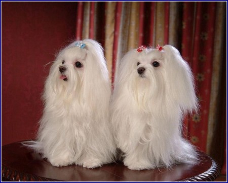 Maltese Dog Breed Facts