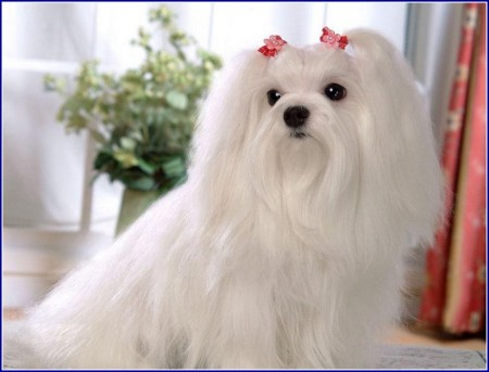 Maltese Dog Breeders