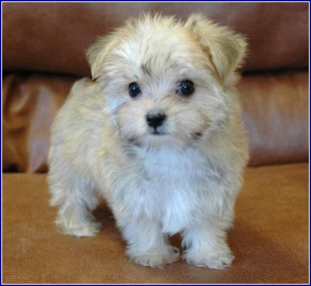 Maltese Dog Breeders In Michigan