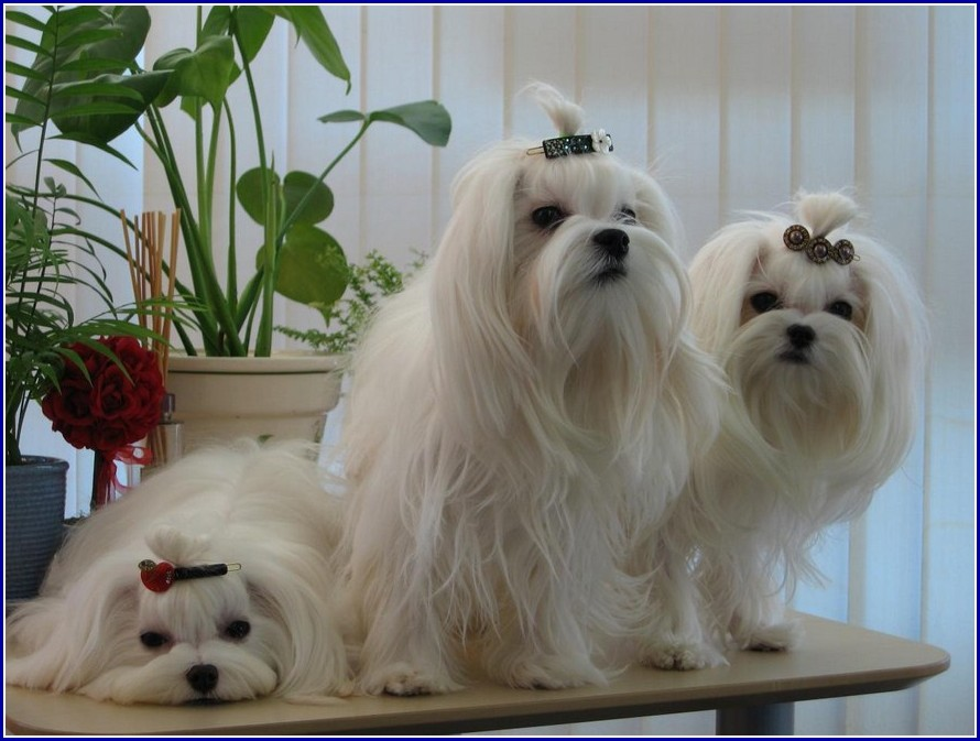 Maltese Dog Breeders In Nj