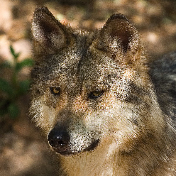 Mexican Gray Wolf Arizona