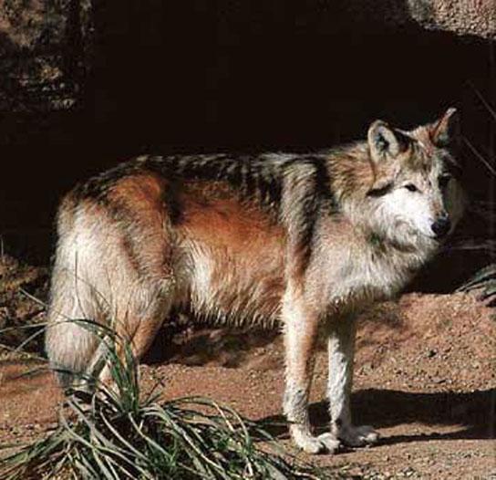 Mexican Gray Wolf Habitat