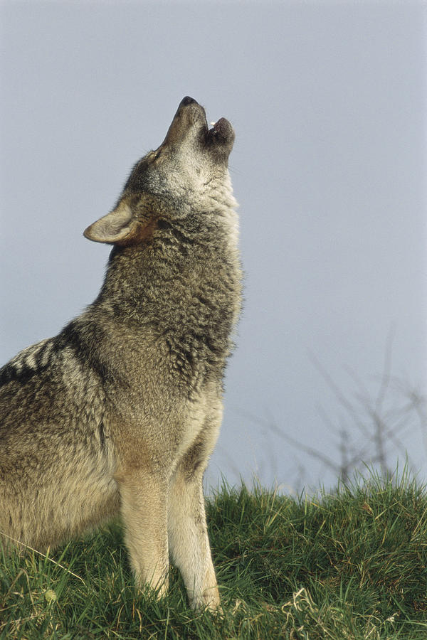 Mexican Gray Wolf Howling