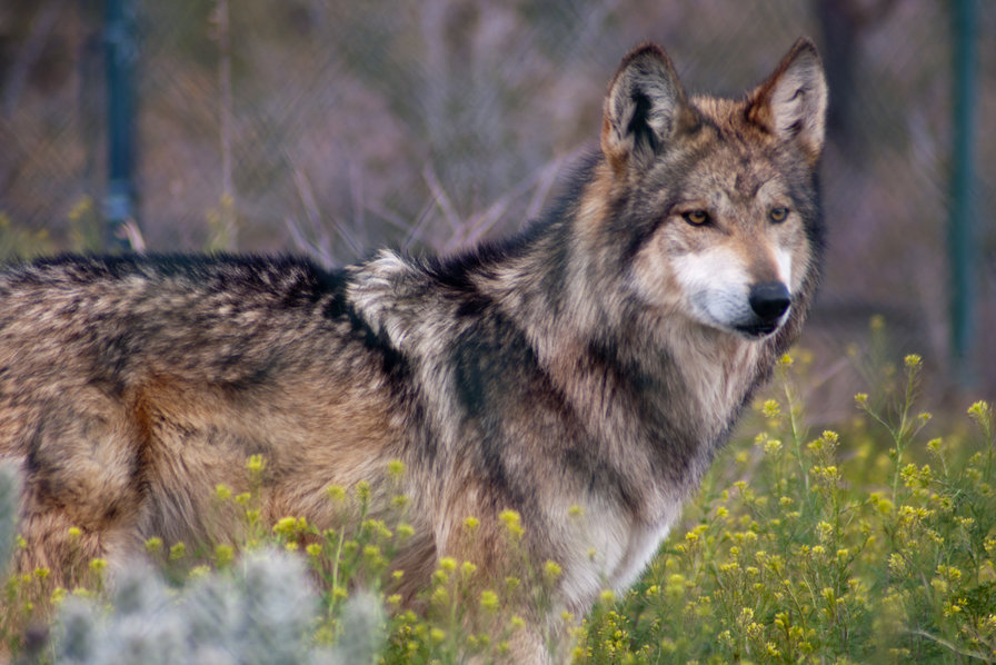 Mexican Gray Wolf Pictures