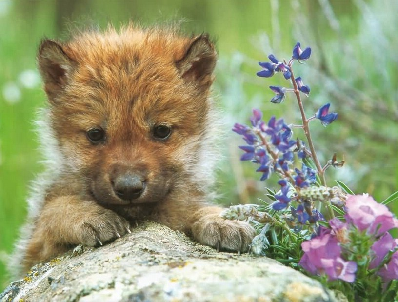 Mexican Gray Wolf Puppies