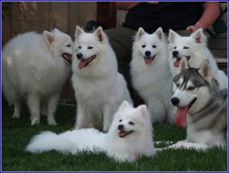 Mini American Eskimo Dogs