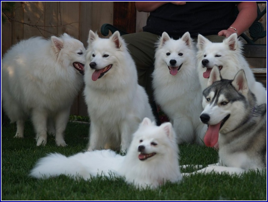 Mini American Eskimo Dogs