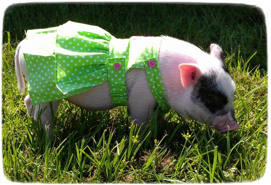 Mini Pigs As Pets