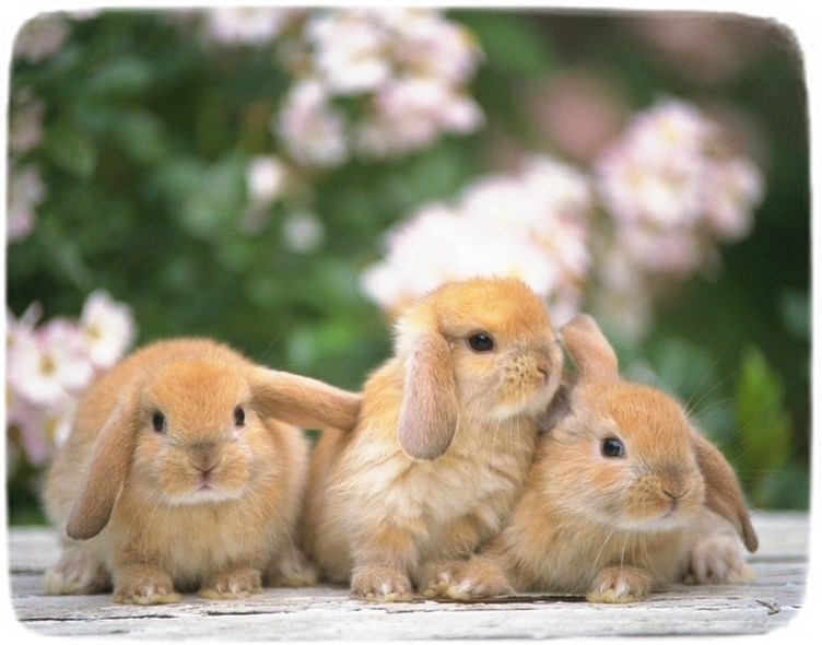 Mini Rabbits As Pets