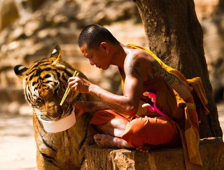 Monk Tiger Temple Thailand