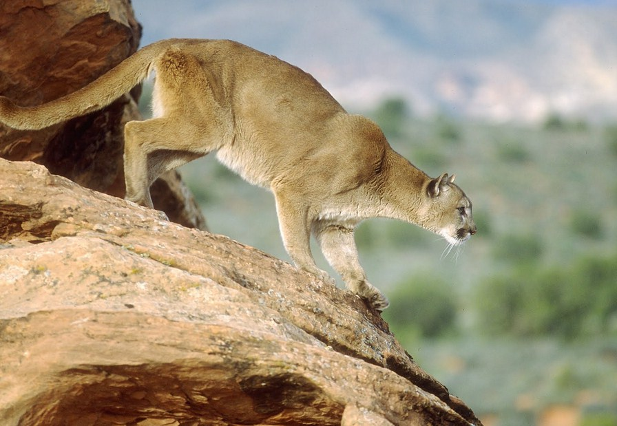 Mountain Lion Animal Facts