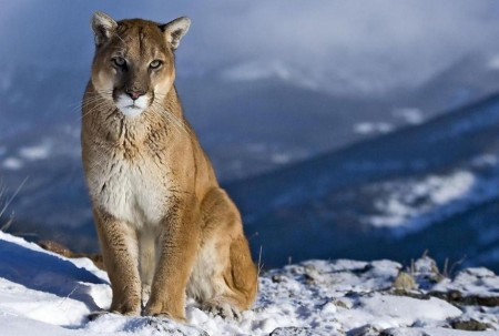 Mountain Lion Animal Pictures