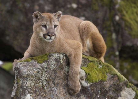 Mountain Lion Pictures Arkansas