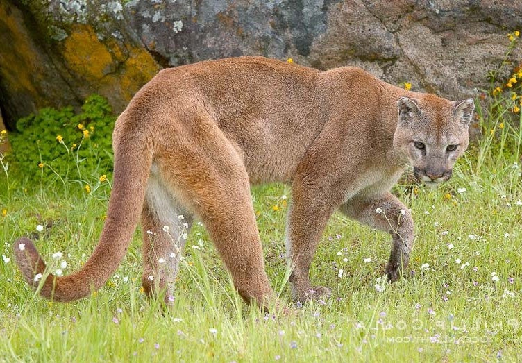 Mountain Lion Pictures California