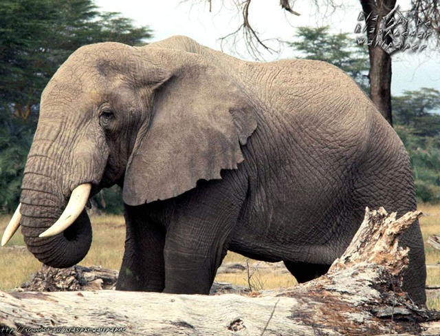 North African Forest Elephant