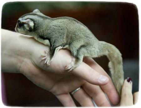 Northern Flying Squirrel Pet