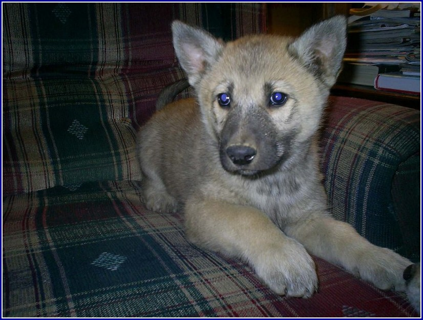 Photos Of Wolf Hybrid Dogs