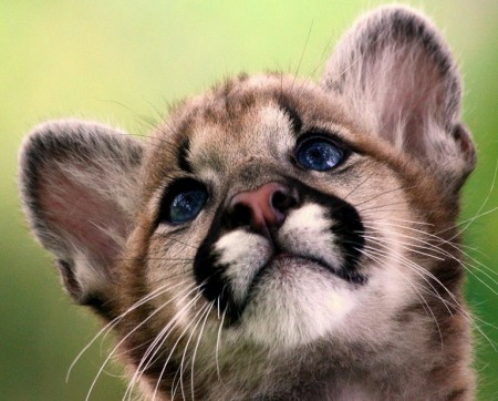 Pics Of Baby Mountain Lions