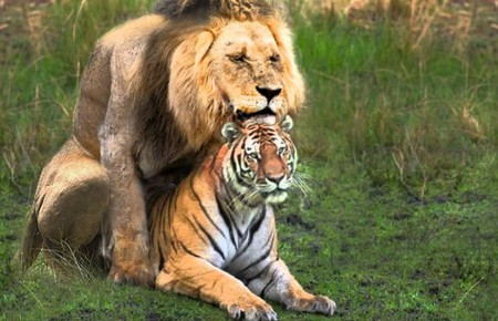 Pics Of Lions And Tigers Mating