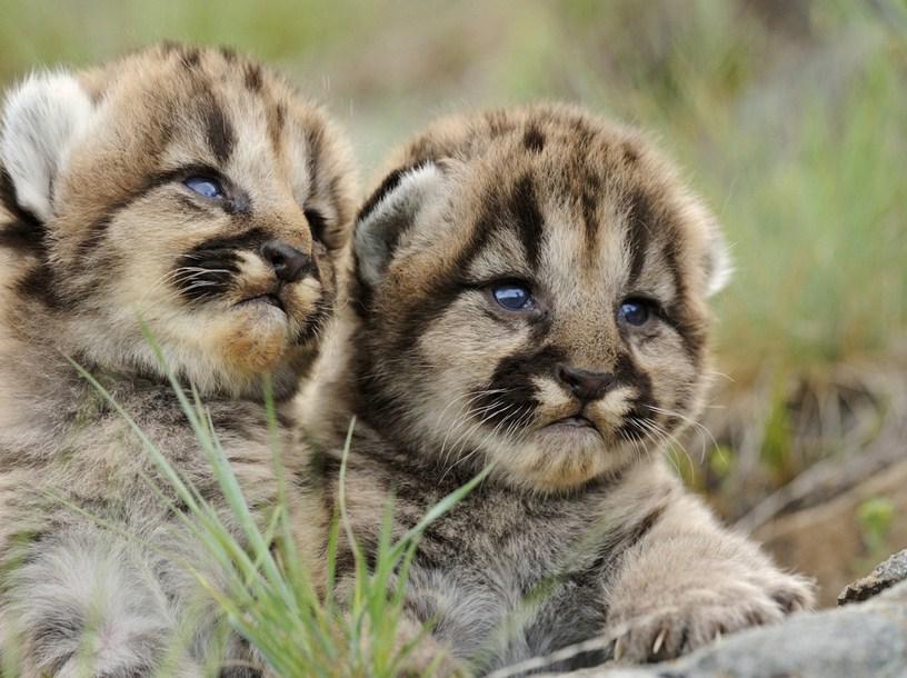 Pics Of Lions Cubs