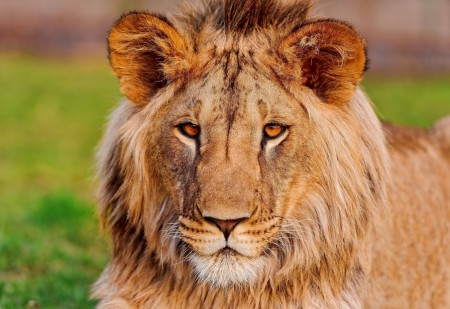 Pics Of Lions Face