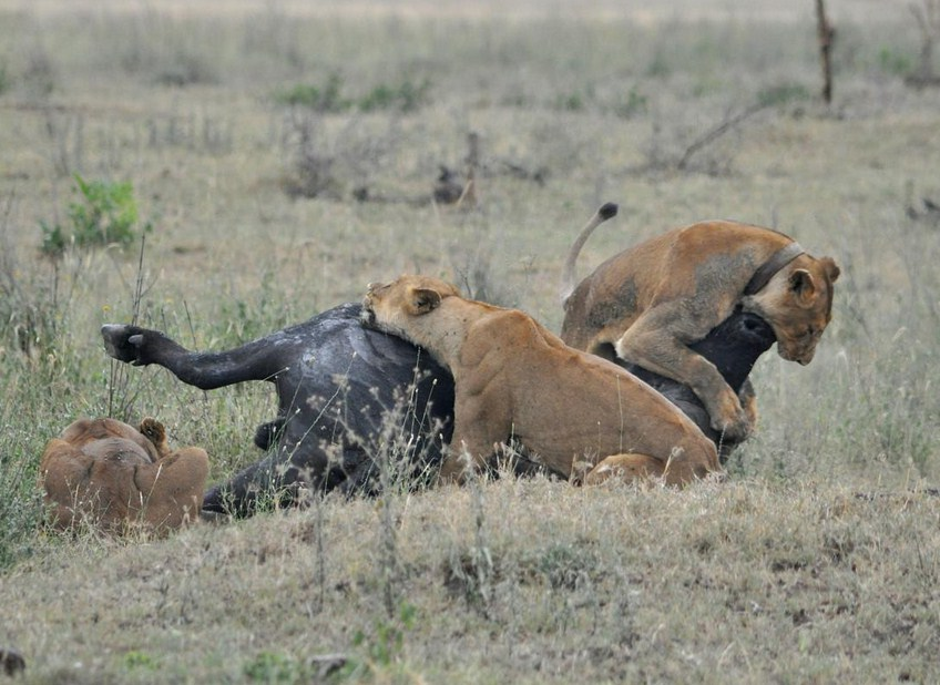 Pics Of Lions Hunting