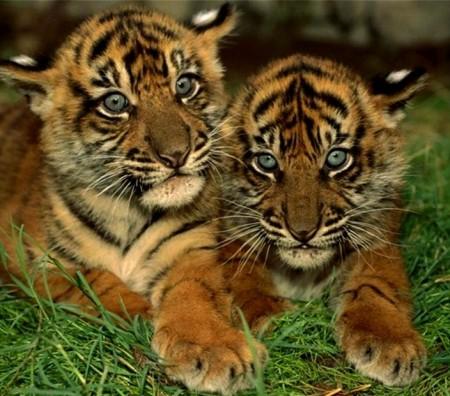 Pics Of Tigers Cubs