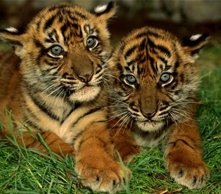Pics Of Tigers Cubs