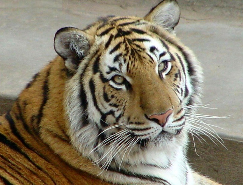 Pics Of Tigers Eyes