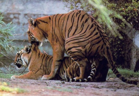 Pics Of Tigers Mating