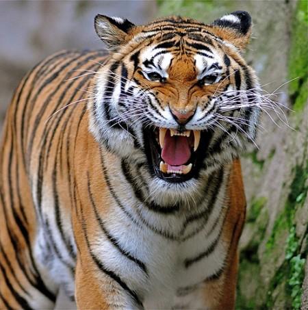 Pics Of Tigers Roaring