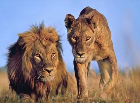 Picture Of A Lion And Lioness Together
