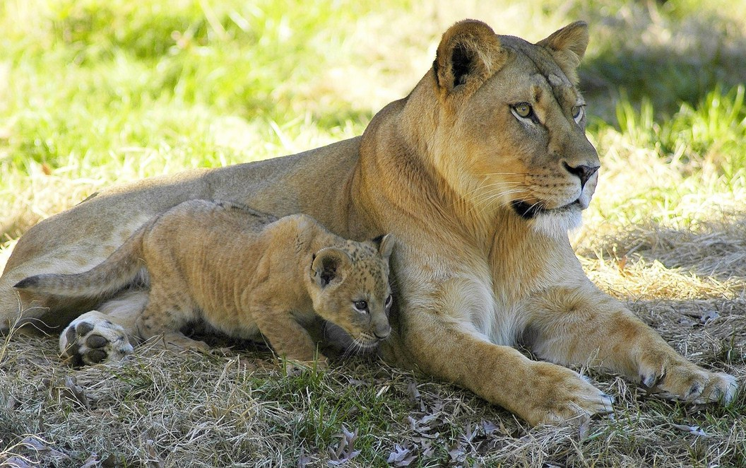 Picture Of A Lioness